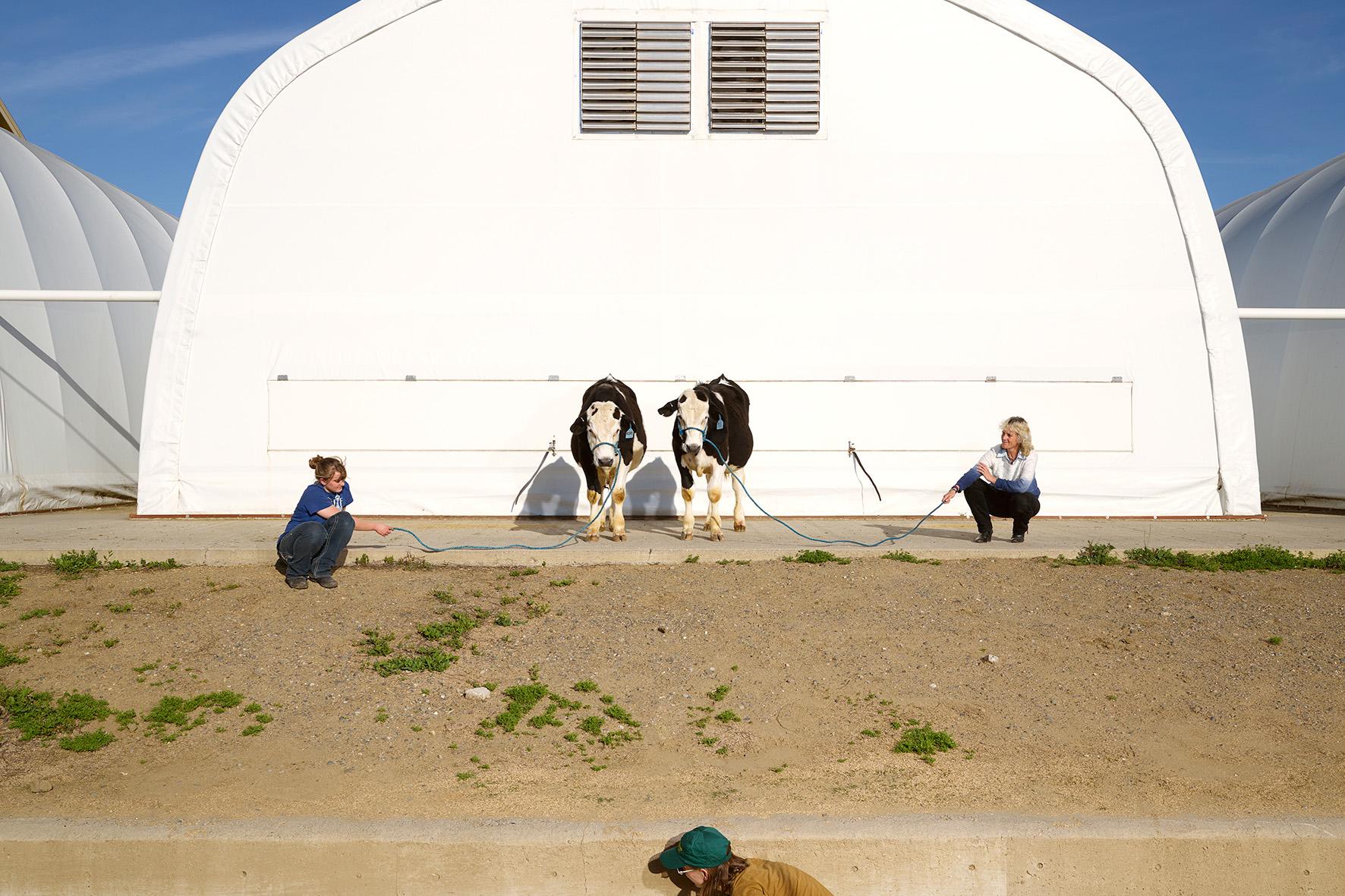 Die Bullen posieren an der Leine für ein Foto
